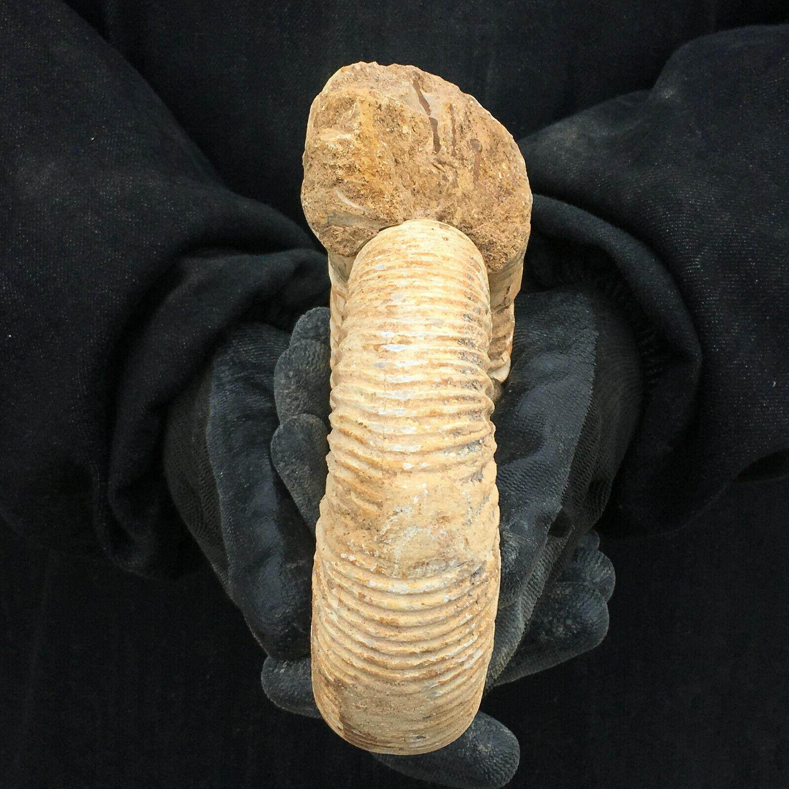 Natural Ammonite Fossil Conch